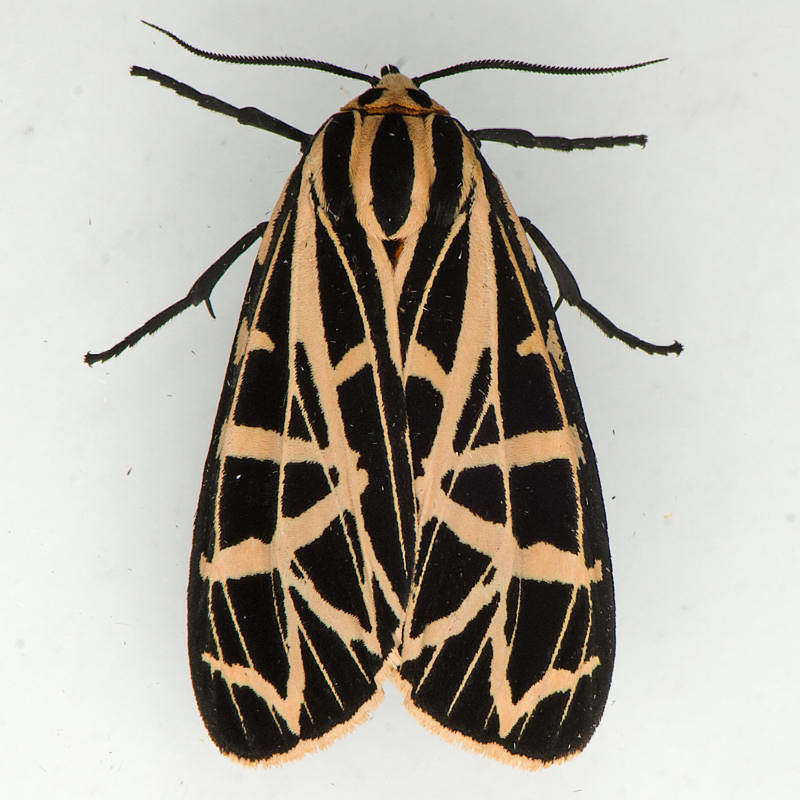 8196  Parthenice Tiger - Grammia parthenice