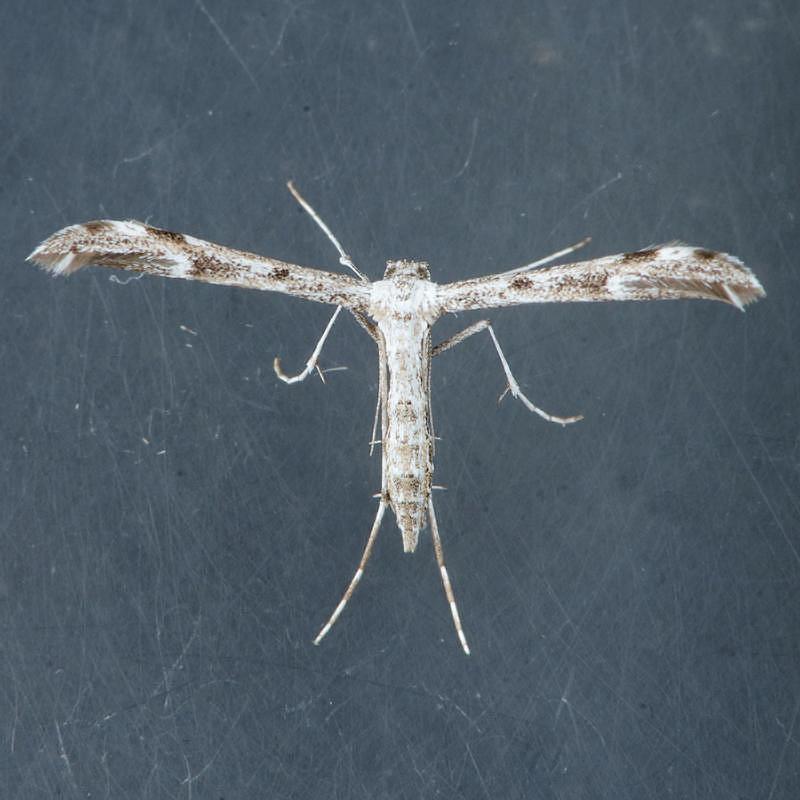 6166 – Oidaematophorus mathewianus  ??