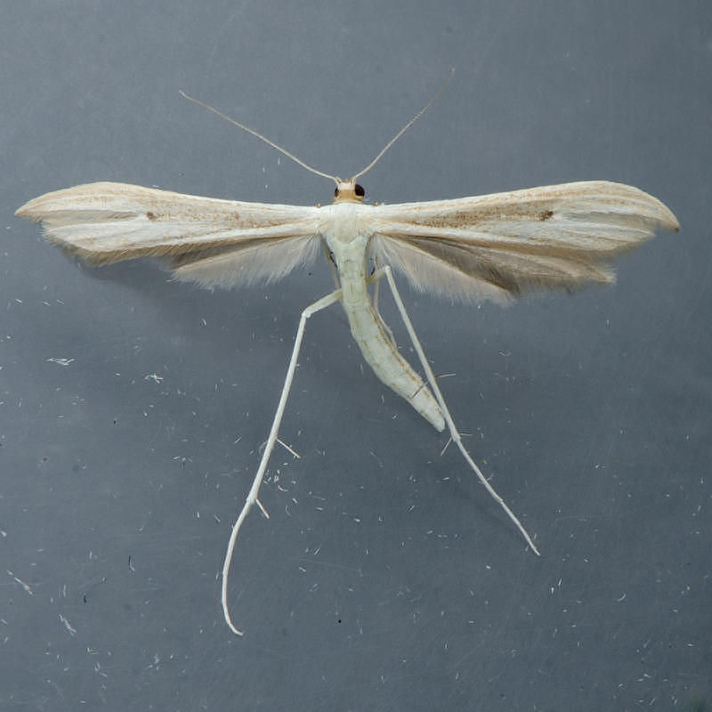 6207 Hellinsia paleaceus