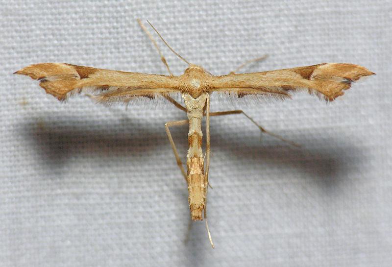 6109  Artichoke Plume - Platyptilia carduidactyla