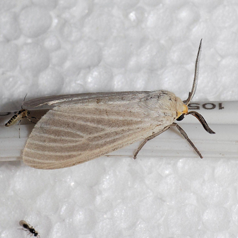8231 Oregon Cycnia - Cycnia oregonensis