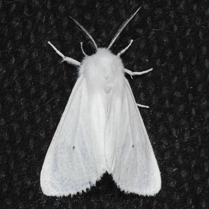 8137  Virginian Tiger - Spilosoma virginica