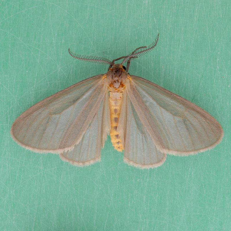 8099   Mouse-colored Lichen - Pagara simplex female