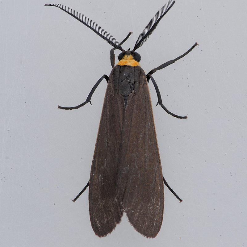 8267  Yellow-collared Scape - Cisseps fulvicollis