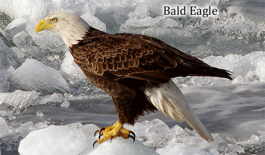 Bald Eagle wide