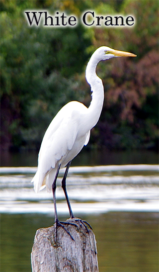White Crane  (tall)