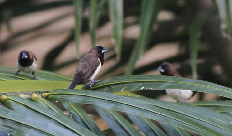 Javan Sparrow