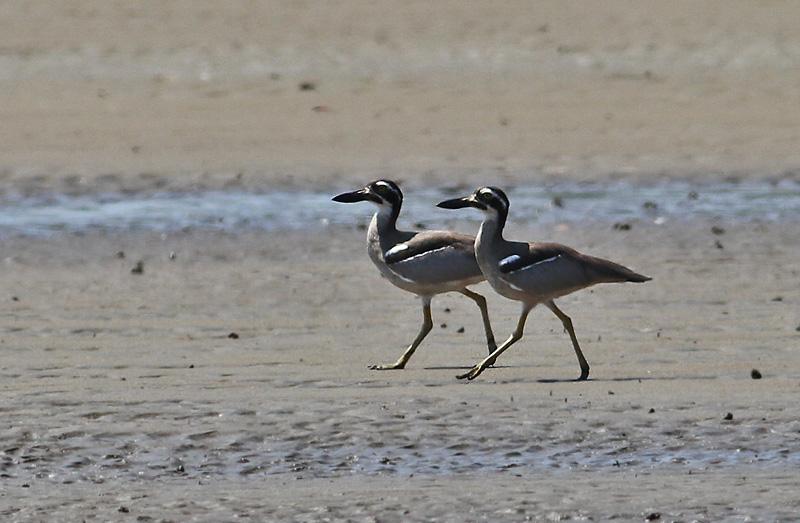 Beach Thick-knee