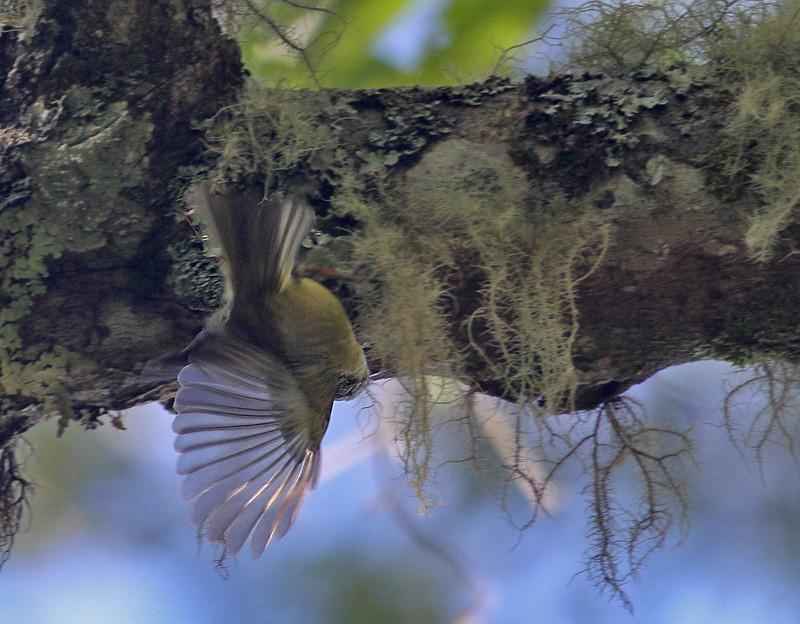 Flores Leaf Warbler