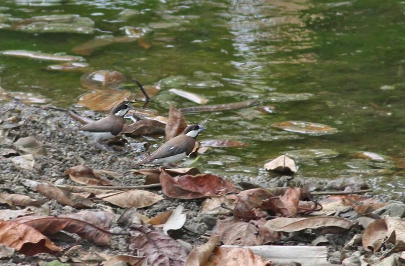 Timor Sparrow