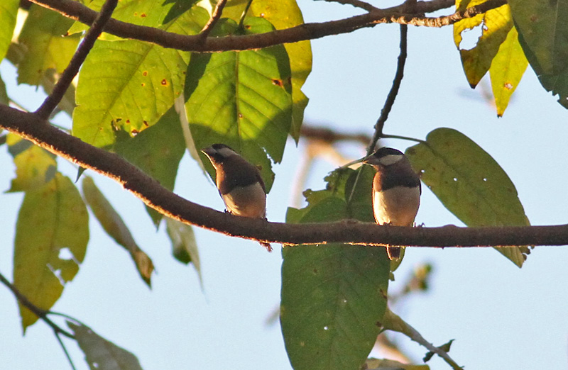 Timor Sparrows