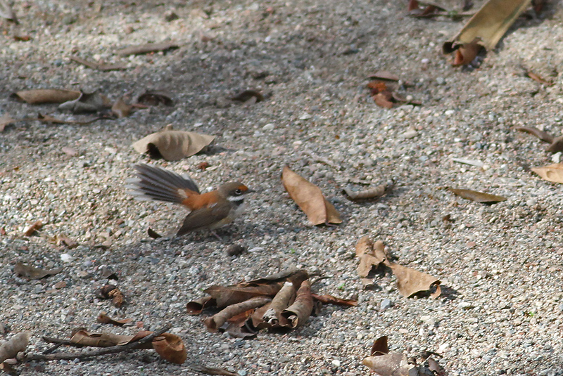 Arafura Fantail