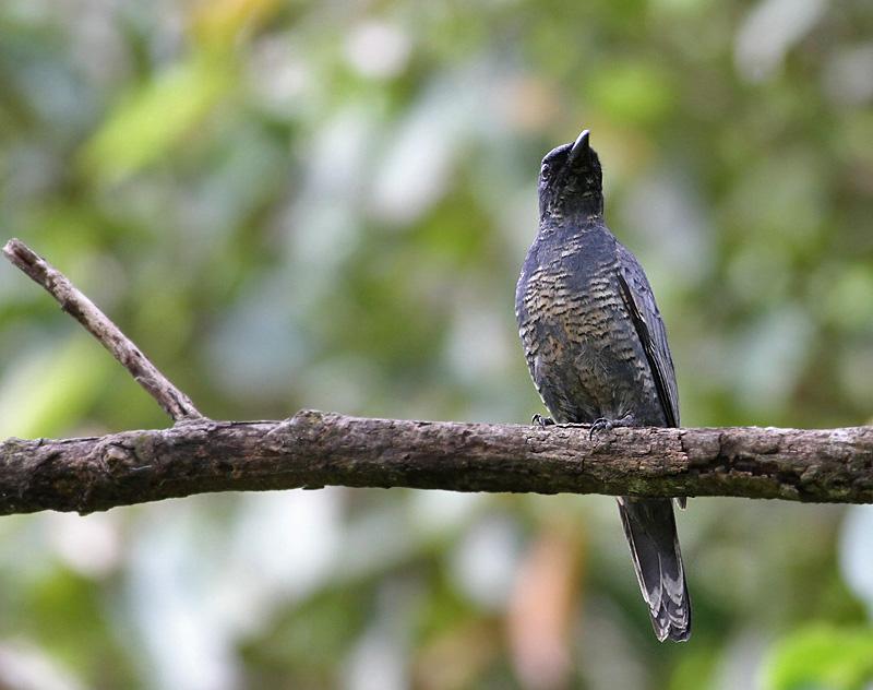Sulawesi Cicadabird