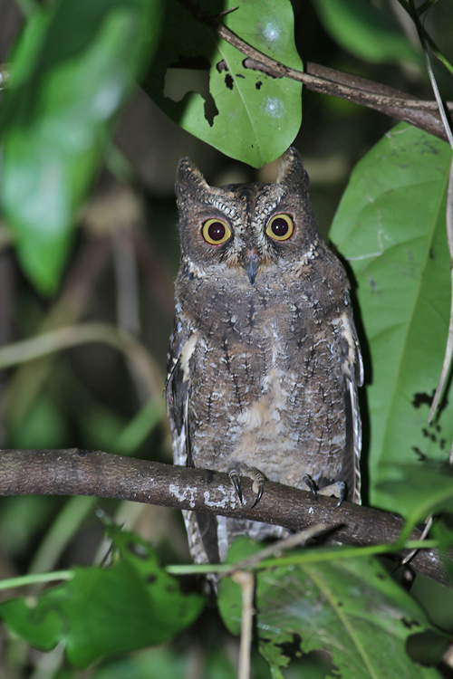 Sulawesi Scops Owl