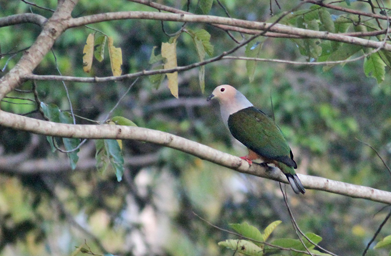 Cinnamon-bellied Imperial Pigeon