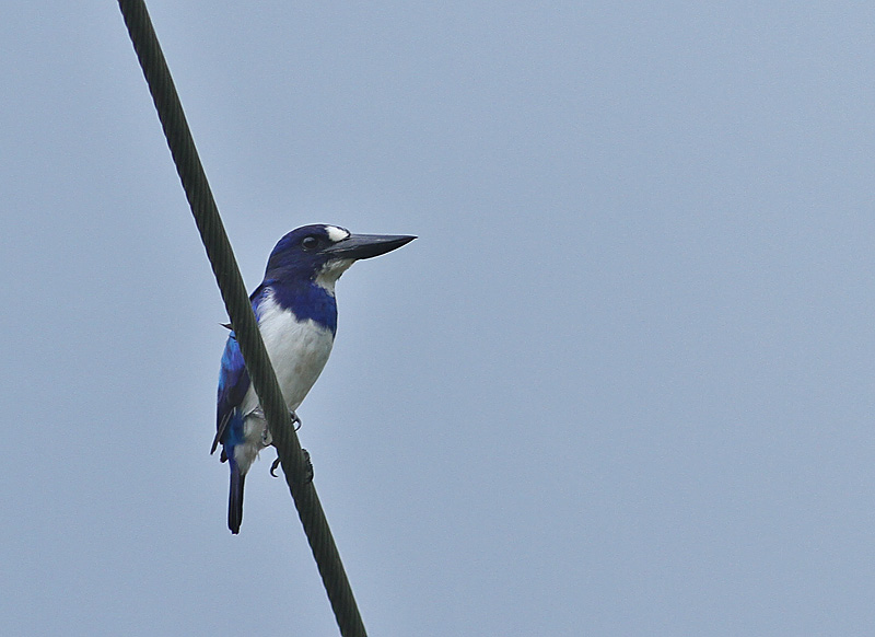 Blue and White Kingfisher