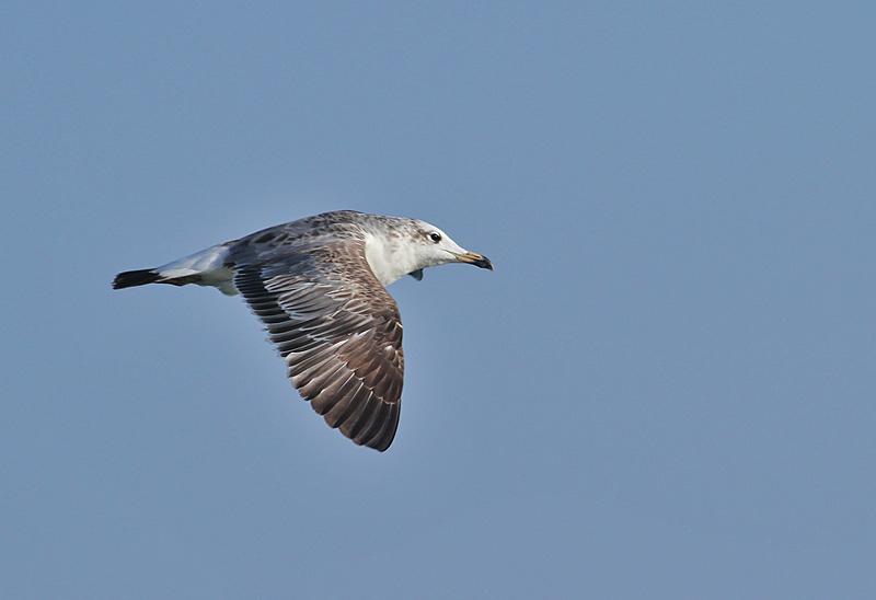Pallass Gull