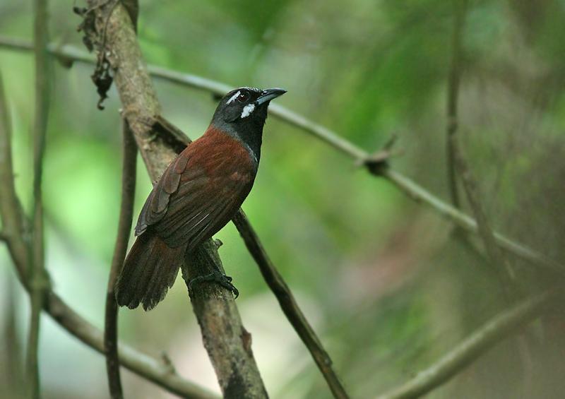 Black-throated Babbler