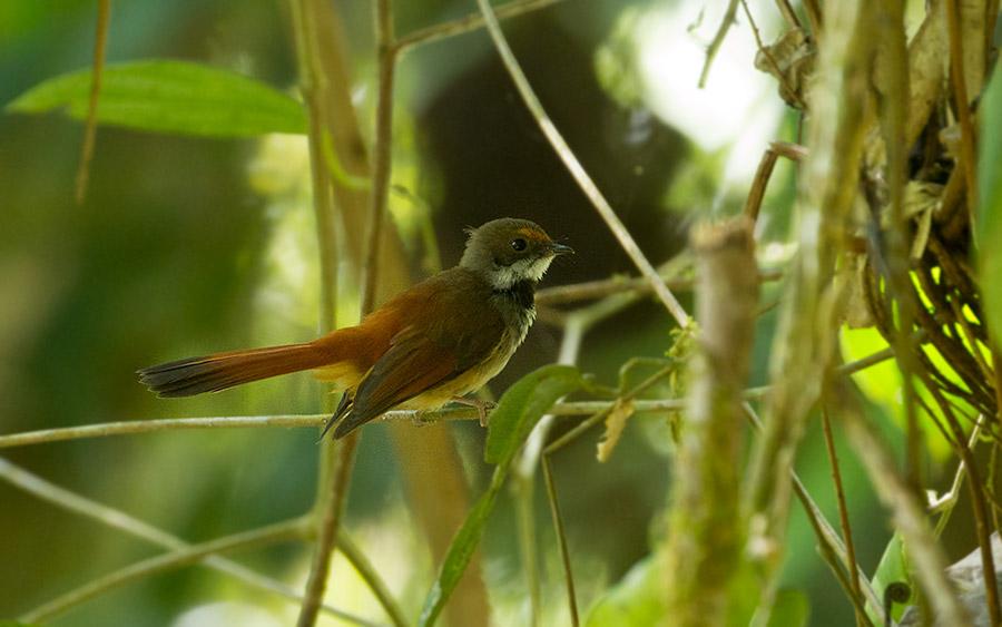 Rusty-bellied Fantail