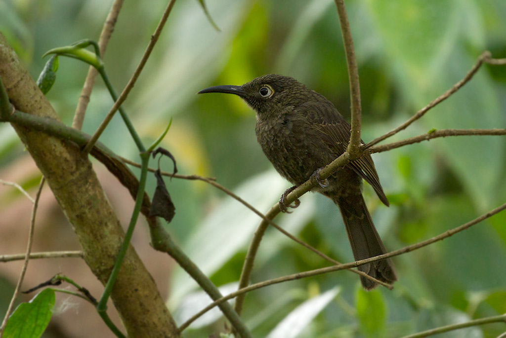 Lesser Sulawesi Honeyeater (Dark-eared Myza)