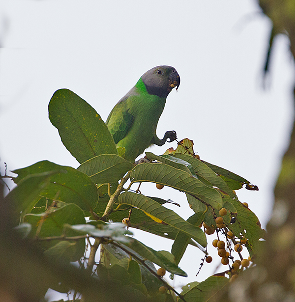 Layards Parakeet