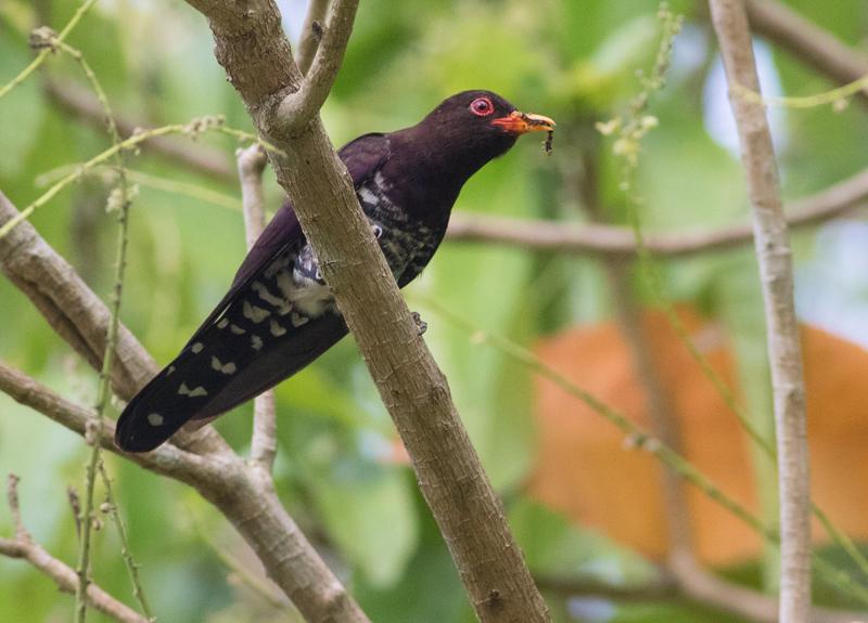 Violet Cuckoo / Chrysococcyx xanthorhynchus