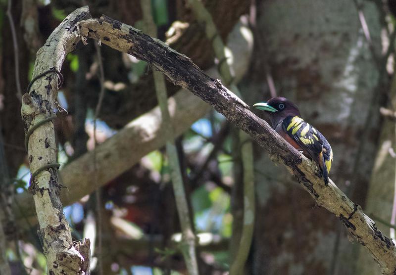 Banded Broadbill / Eurylaimus javanicus