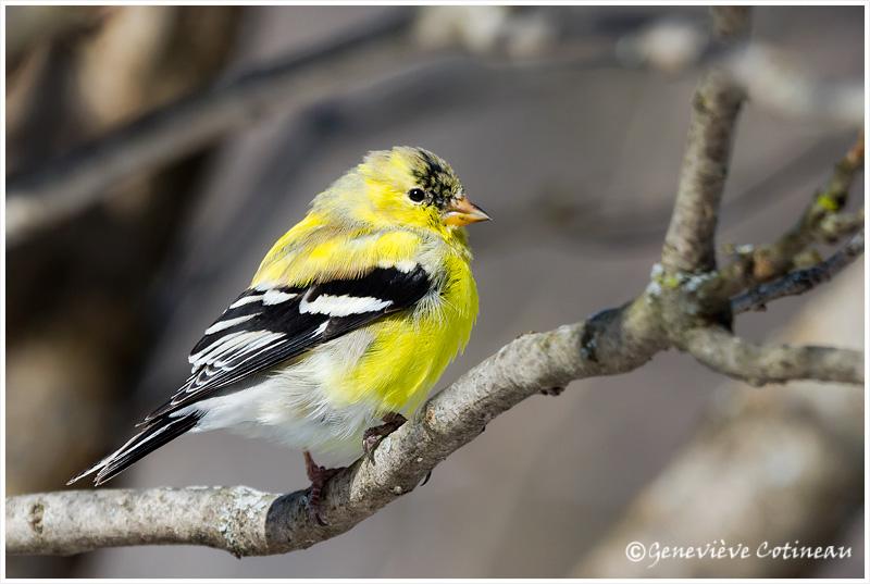 Chardonneret jaune, un mâle cette fois Original