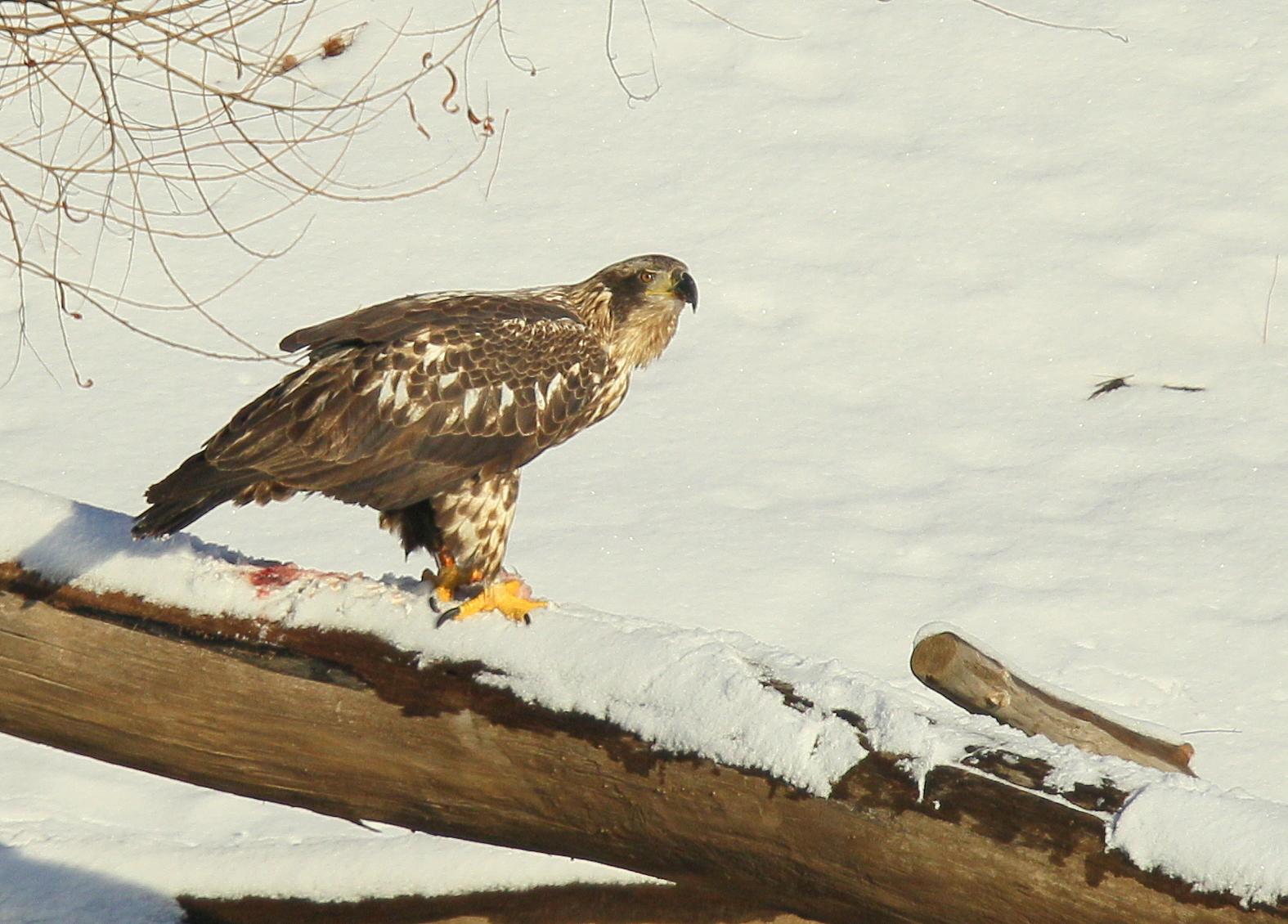 Bald Eagle, subadult