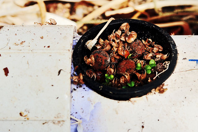 Aquaponic Basil sprouting