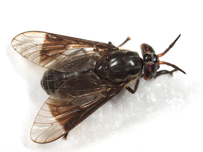 Chrysops calvus