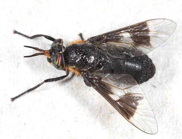 Chrysops cincticornis