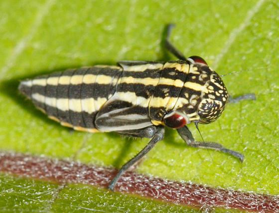 Cuerna sp. nymph