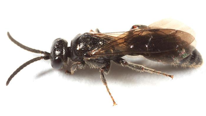 Tiphia sp.