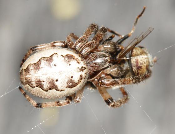 Furrow Orbweaver - Larinioides cornutus