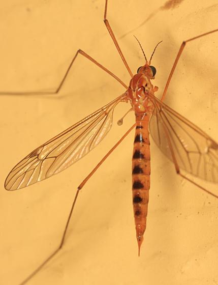 Nephrotoma ferruginea