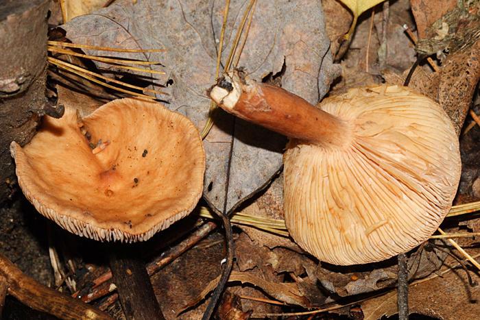Lactarius sp.
