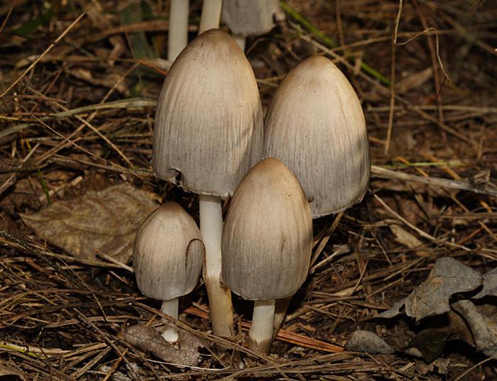 Coprinopsis atramentaria (=Coprinus atramentarius)