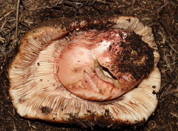 Russula ventricosipes