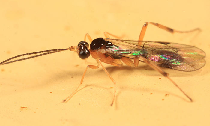 Aperileptus sp.