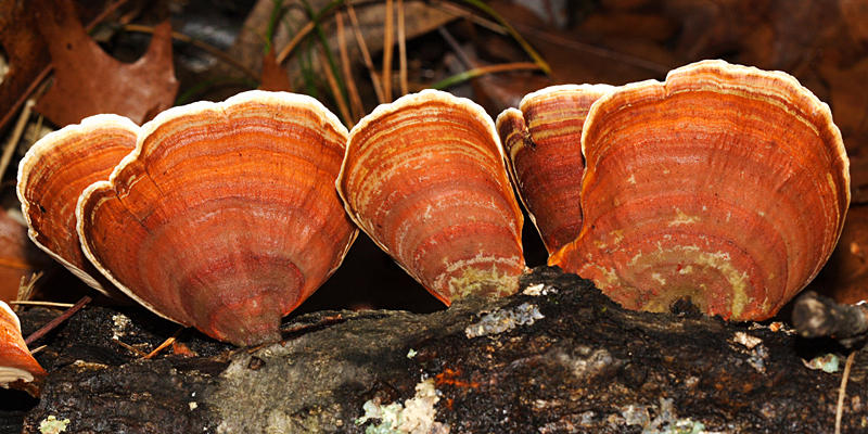Stereum ostrea (False Turkey Tail)