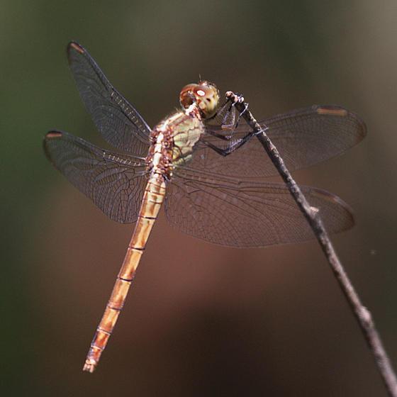 Band-winged Dragonlet - Erythrodiplax umbrata