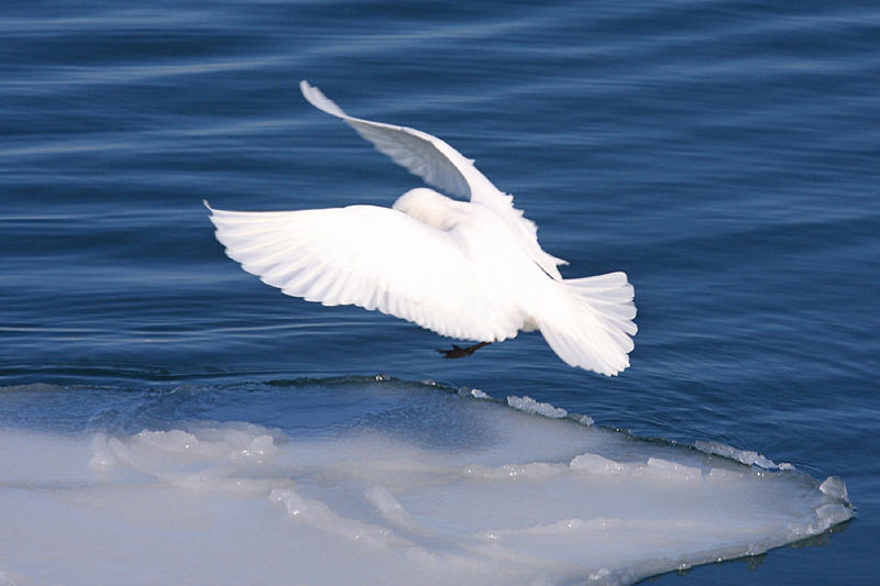 Ivory Gull - Pagophila eburnea