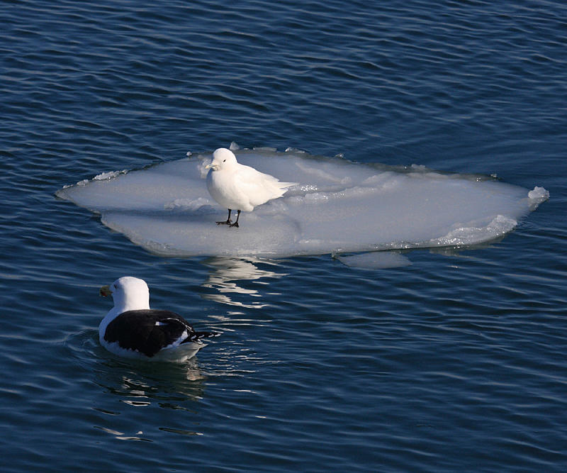 Ivory Gull - Pagophila eburnea (being eyed by a hungry Great Black-backed Gull)