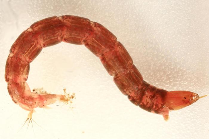 Clinotanypus sp.