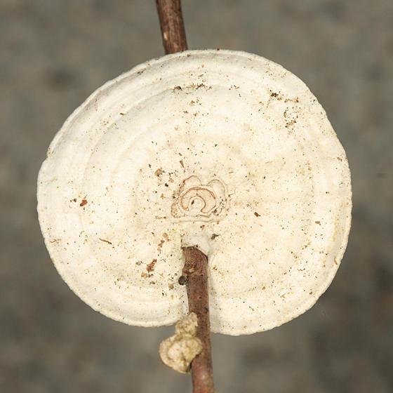 Trametes conchifer (Little Nest Polypore)