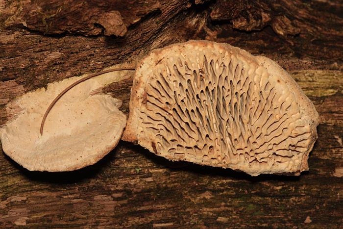 Daedalea quercina (Thick Maze Polypore)