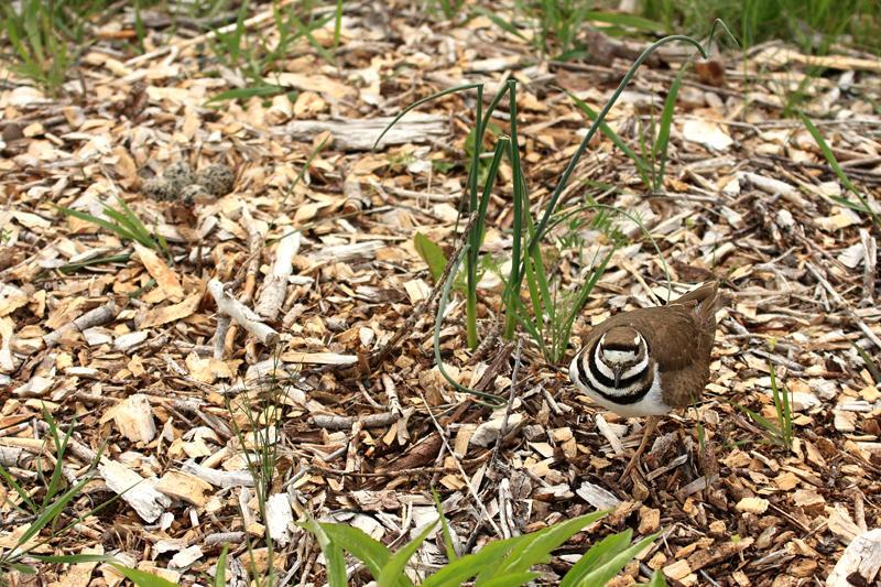 Killdeer - Charadrius vociferus (next to her eggs)