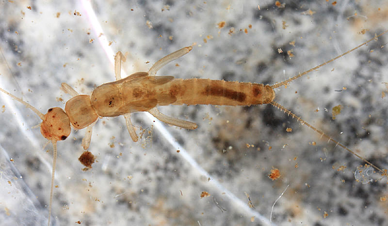 Leuctra variabilis
