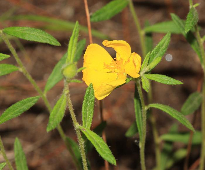 Frostweed - Helianthemum canadense
